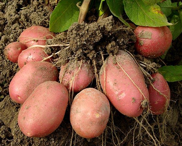 Grow Potatoes in Your Garden